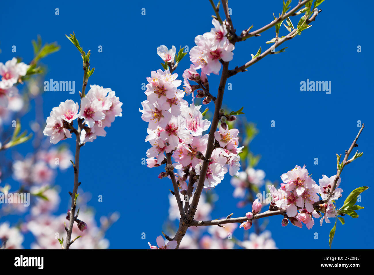 Pink Flowers Blooming Peach Tree at Spring. Bright Blue Sky as Stock ...