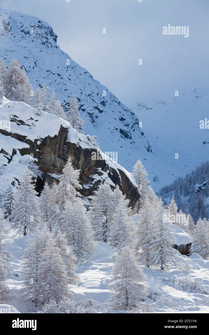 Larch trees in the snow in winter in mountain valley of the Gran Paradiso National Park, Valle d'Aosta, Italy - Stock Image