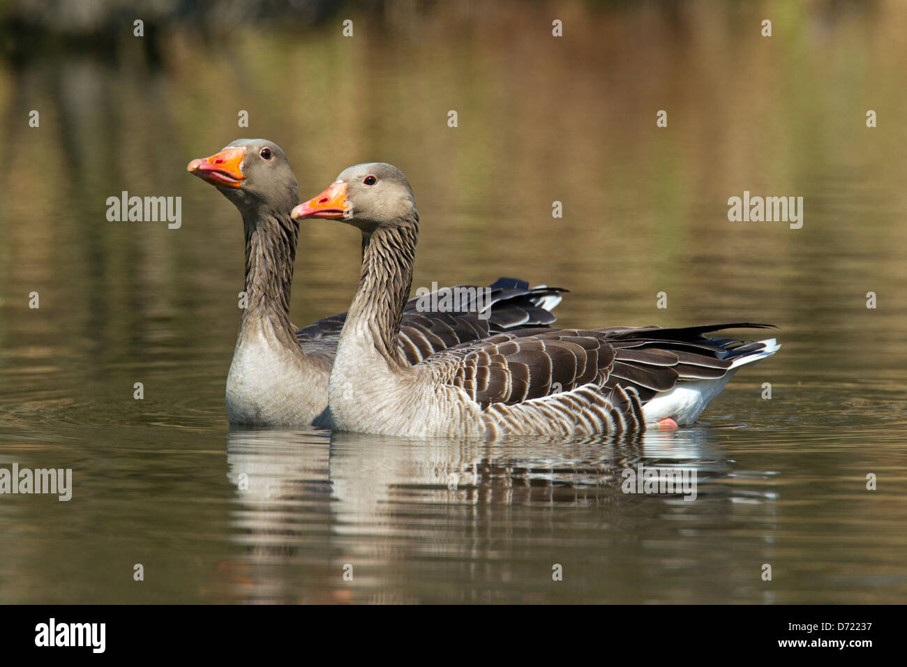 Two Greylag Geese / Graylag Goose (Anser anser) swimming in lake Stock Photo