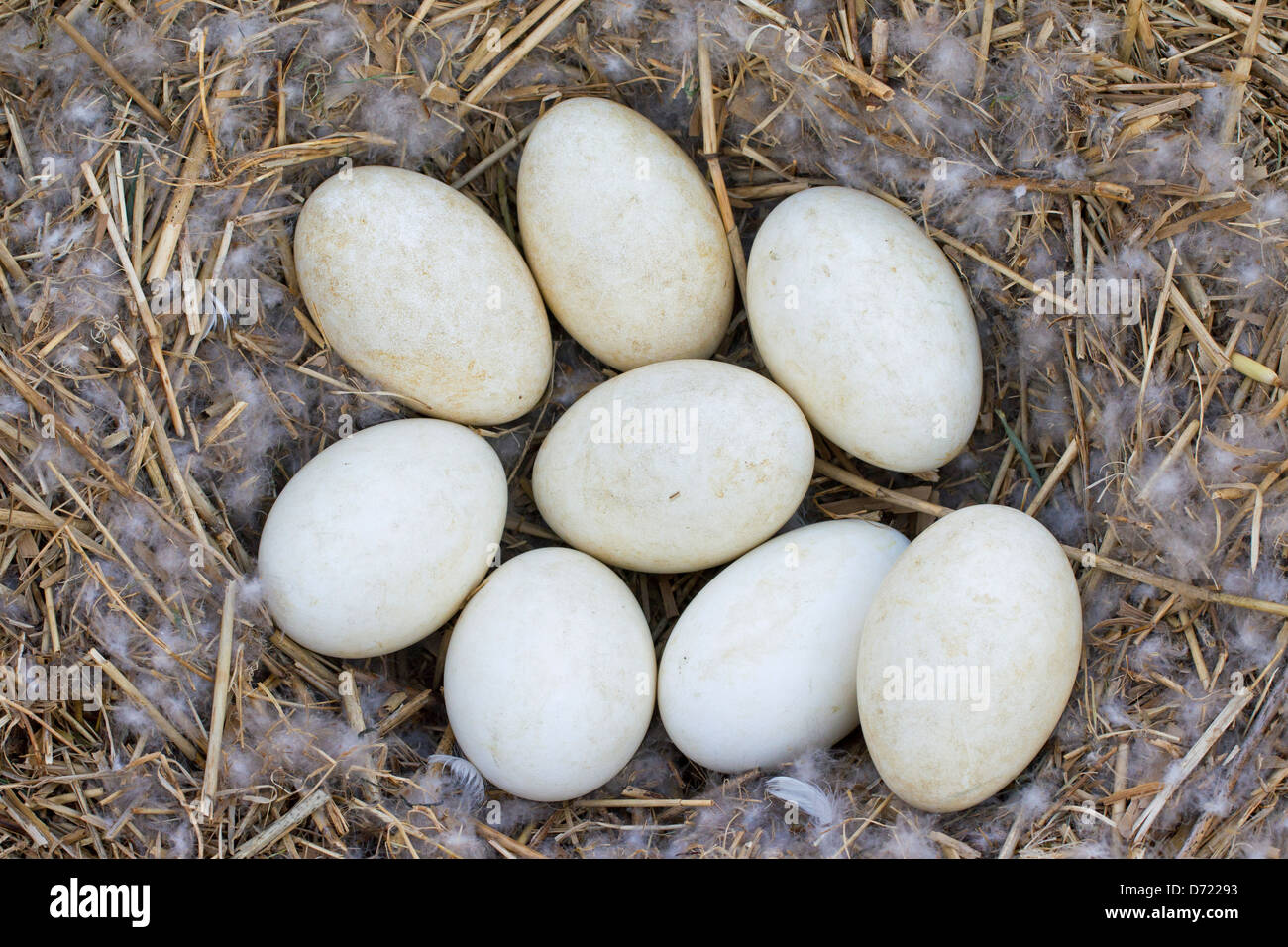 Greylag Goose / Graylag Goose (Anser anser) nest with clutch of eggs in reed bed - Stock Image