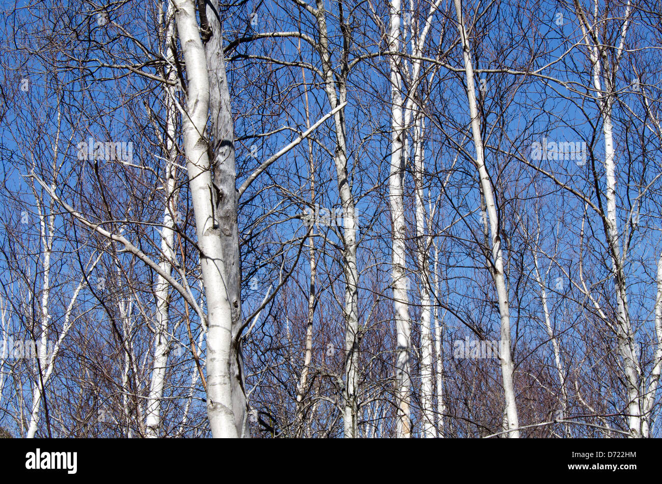 Still leafless in early spring, white-barked Paper Birch saplings stand against a deep blue sky in Acadia National - Stock Image