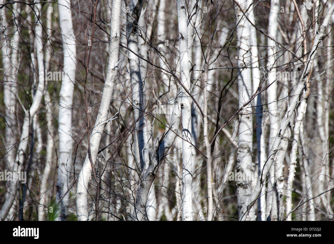 A dense stand of white-barked Paper Birch saplings in Acadia National Park, Maine, is still leafless in early spring. - Stock Image