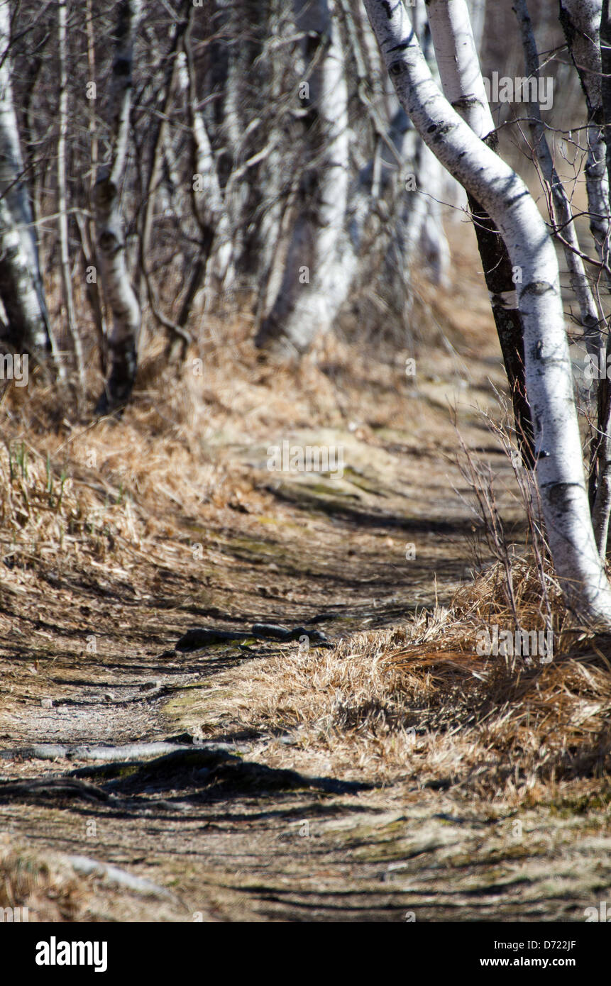 White-barked Paper Birch trees line a hiking path in Acadia National Park, Maine. - Stock Image