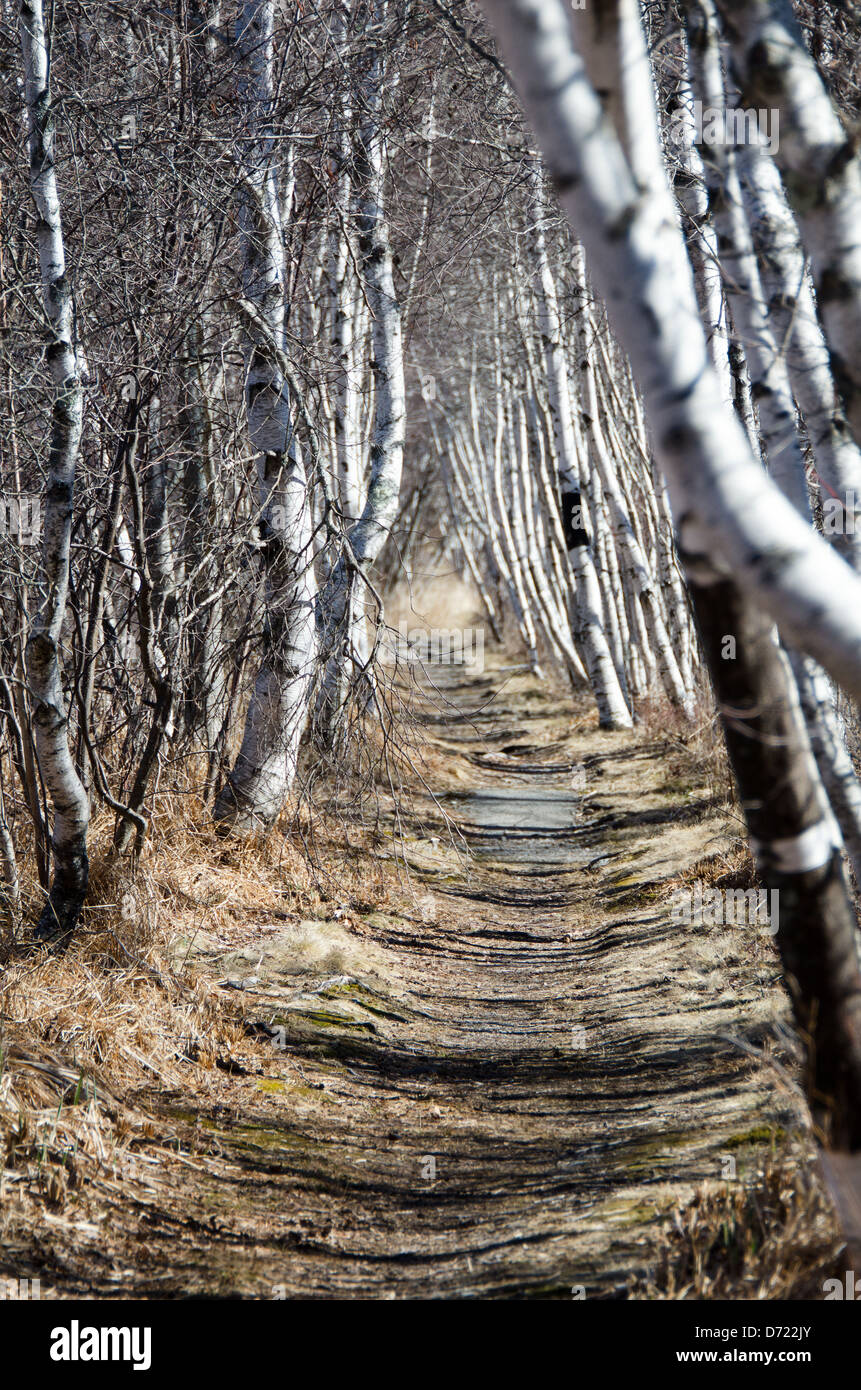 Graceful white-barked Paper Birch trees line a hiking path in Acadia National Park, Maine. - Stock Image