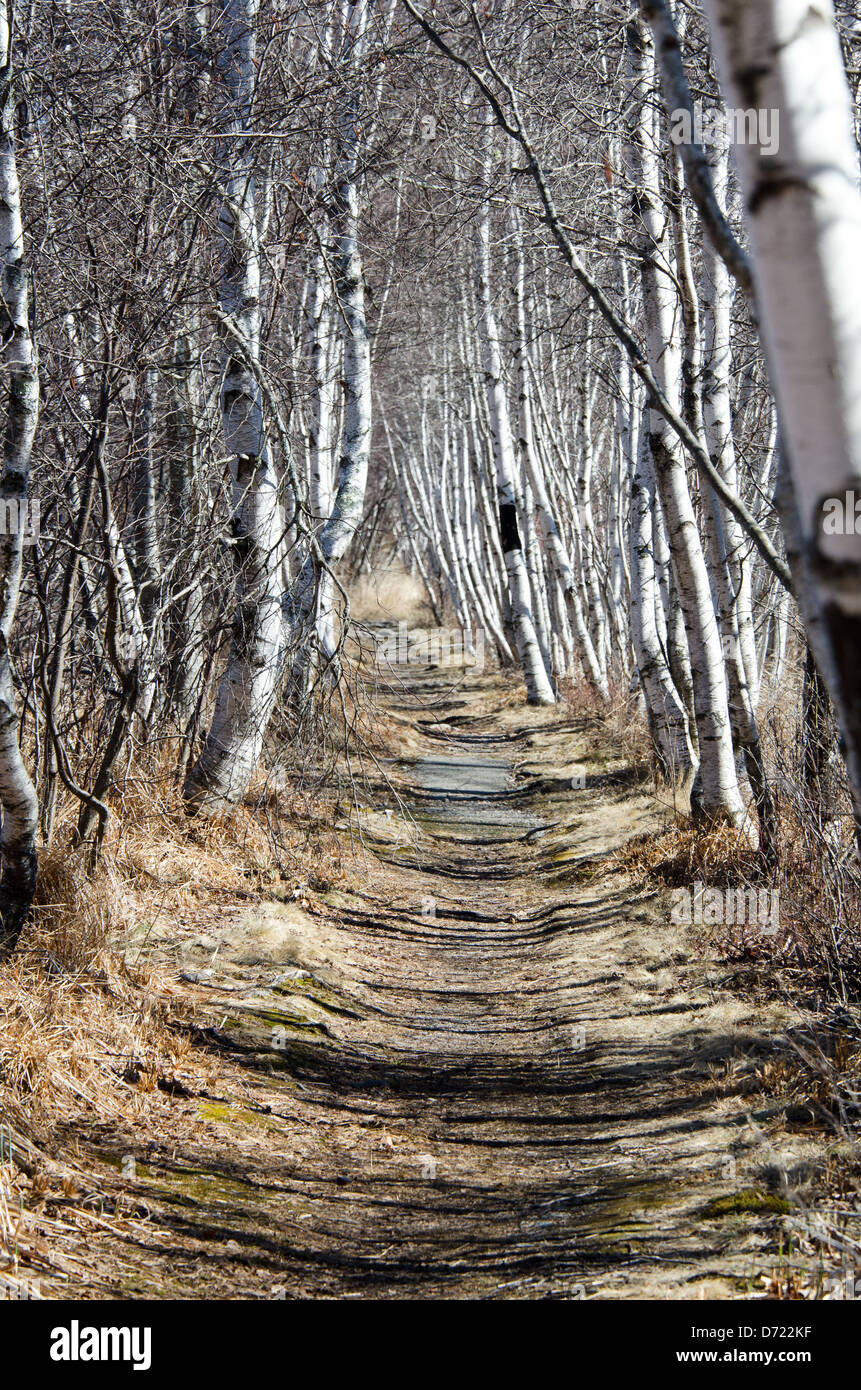 The Hemlock Road in Acadia National Park, Maine, is lined with graceful white-barked Paper Birch trees. - Stock Image