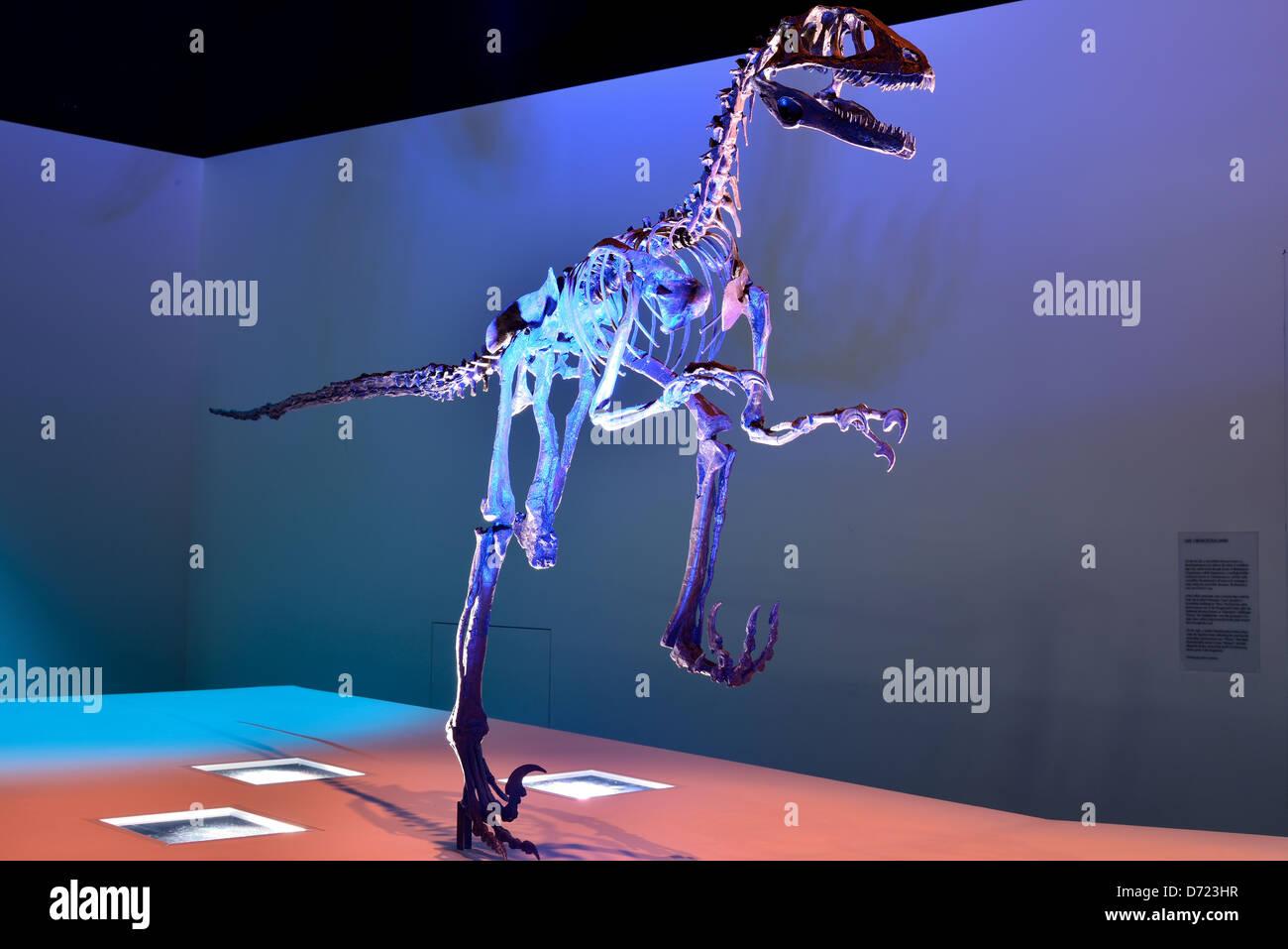 Fossil skeleton of a Deinonychus dinosaur. Cretaceous age. - Stock Image