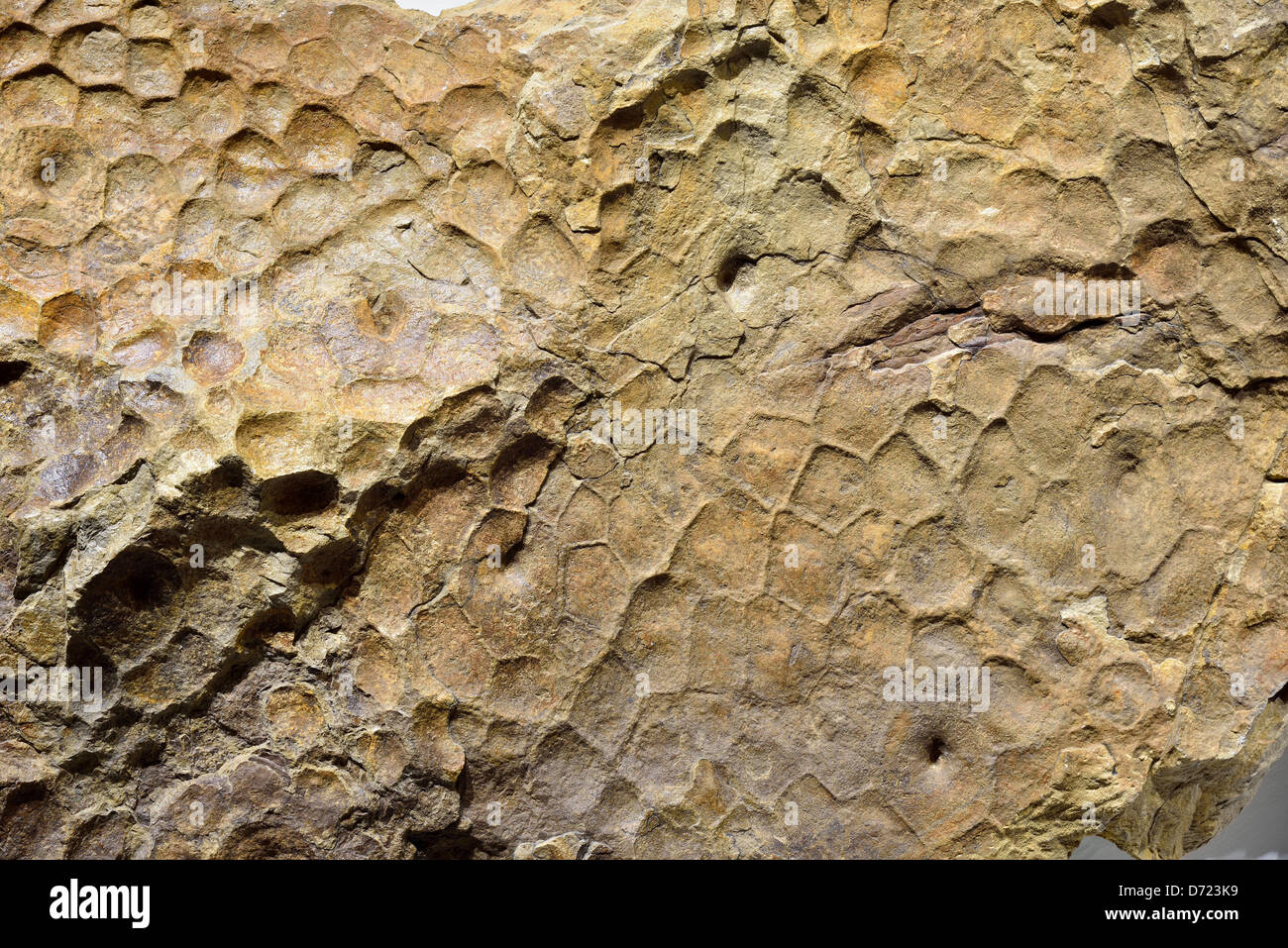 Fossilized imprint of Triceratops dinosaur skin. - Stock Image