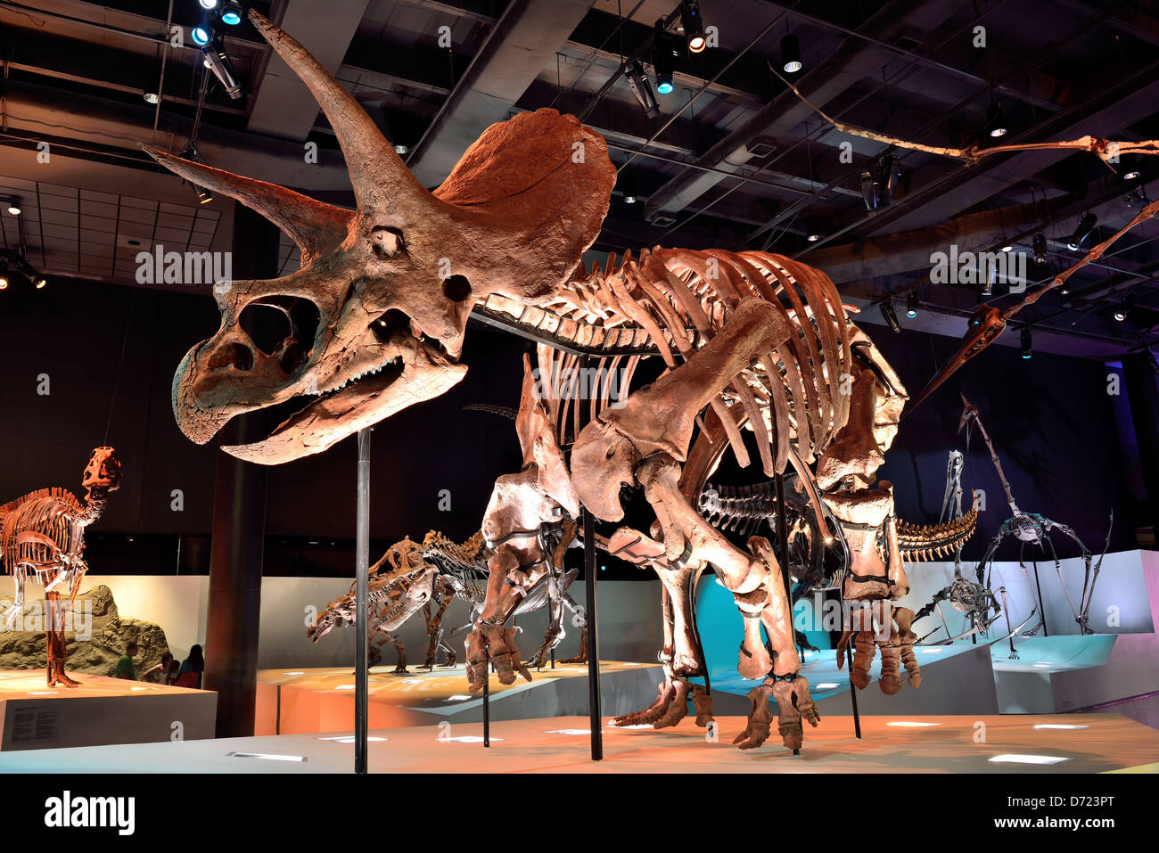 Fossil skeleton of a Triceratops. - Stock Image