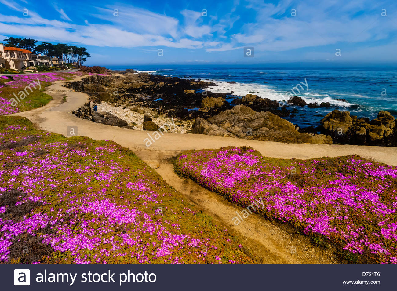 Carpet of mesembryanthemum flowers along the Monterey Bay Coastal Trail in Pacific Grove, Monterey, California, - Stock Image