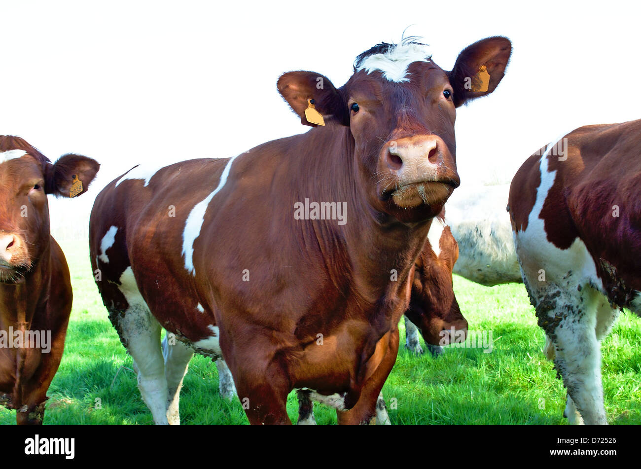Brown stained milk cows in a green meadow Stock Photo