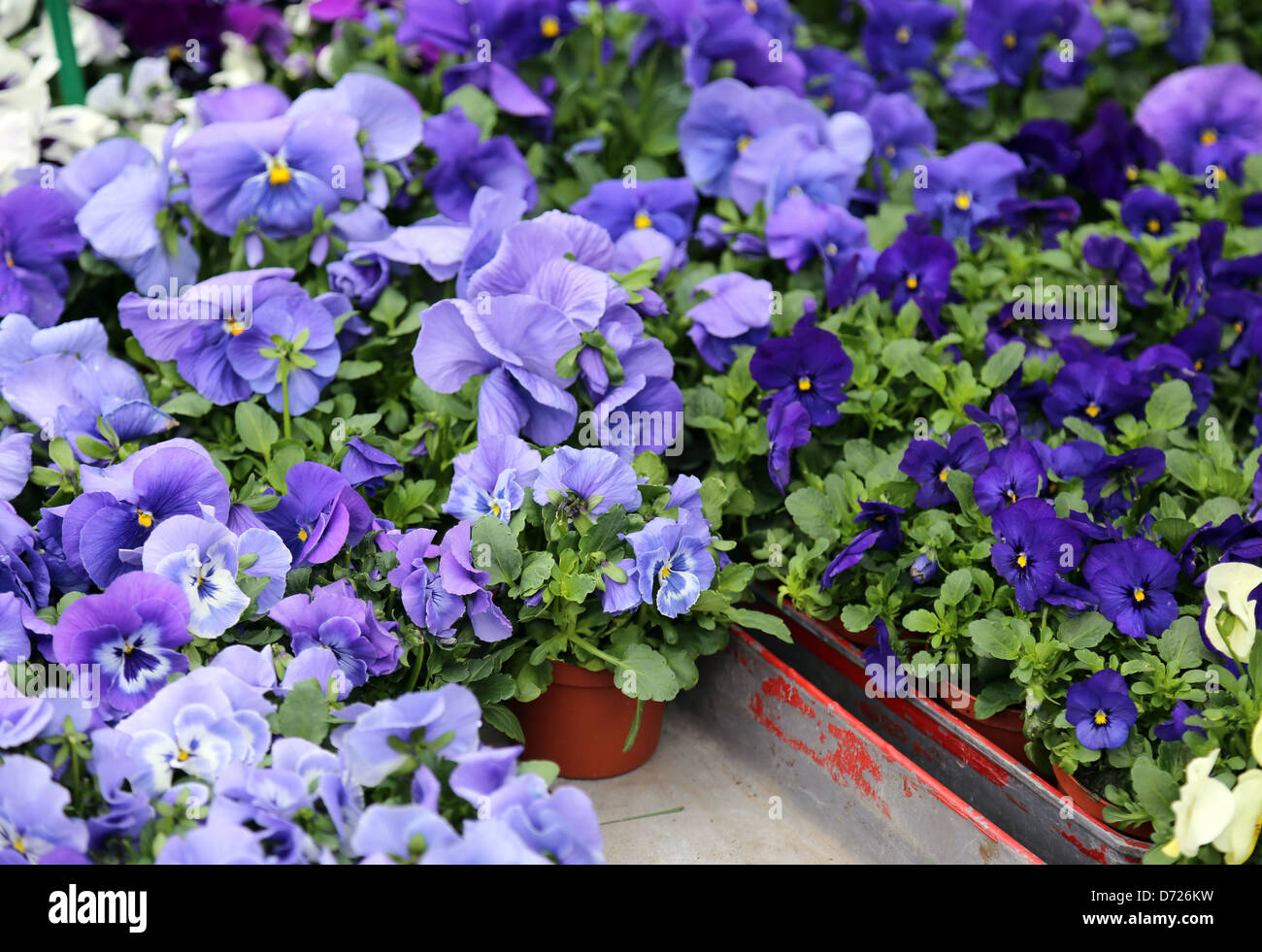 Blue Colored Viola Seedlings Stock Photo 55982861 Alamy