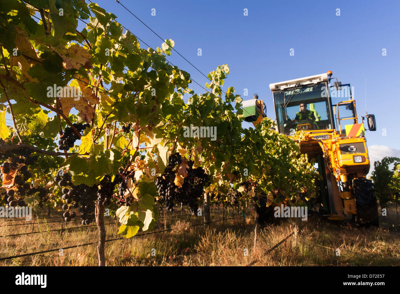 17d35f41b14160 Sunlight on merlot grapes being machine picked for the excellent 2013  vintage. Gimblett Gravels, Hawkes Bay, New Zealand