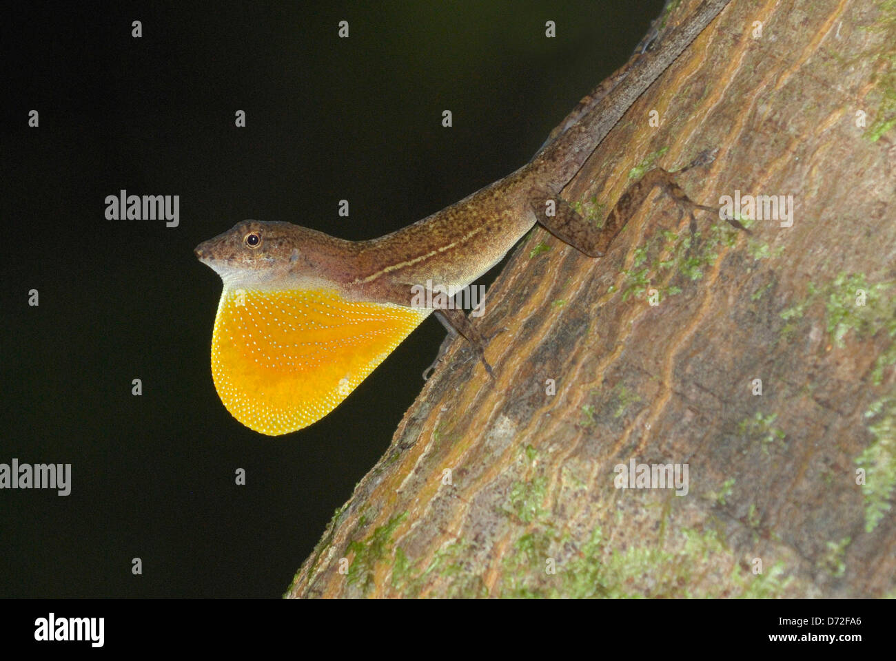 Male Many-scaled Anole (Norops polylepis) displaying in Costa Rica rainforest - Stock Image