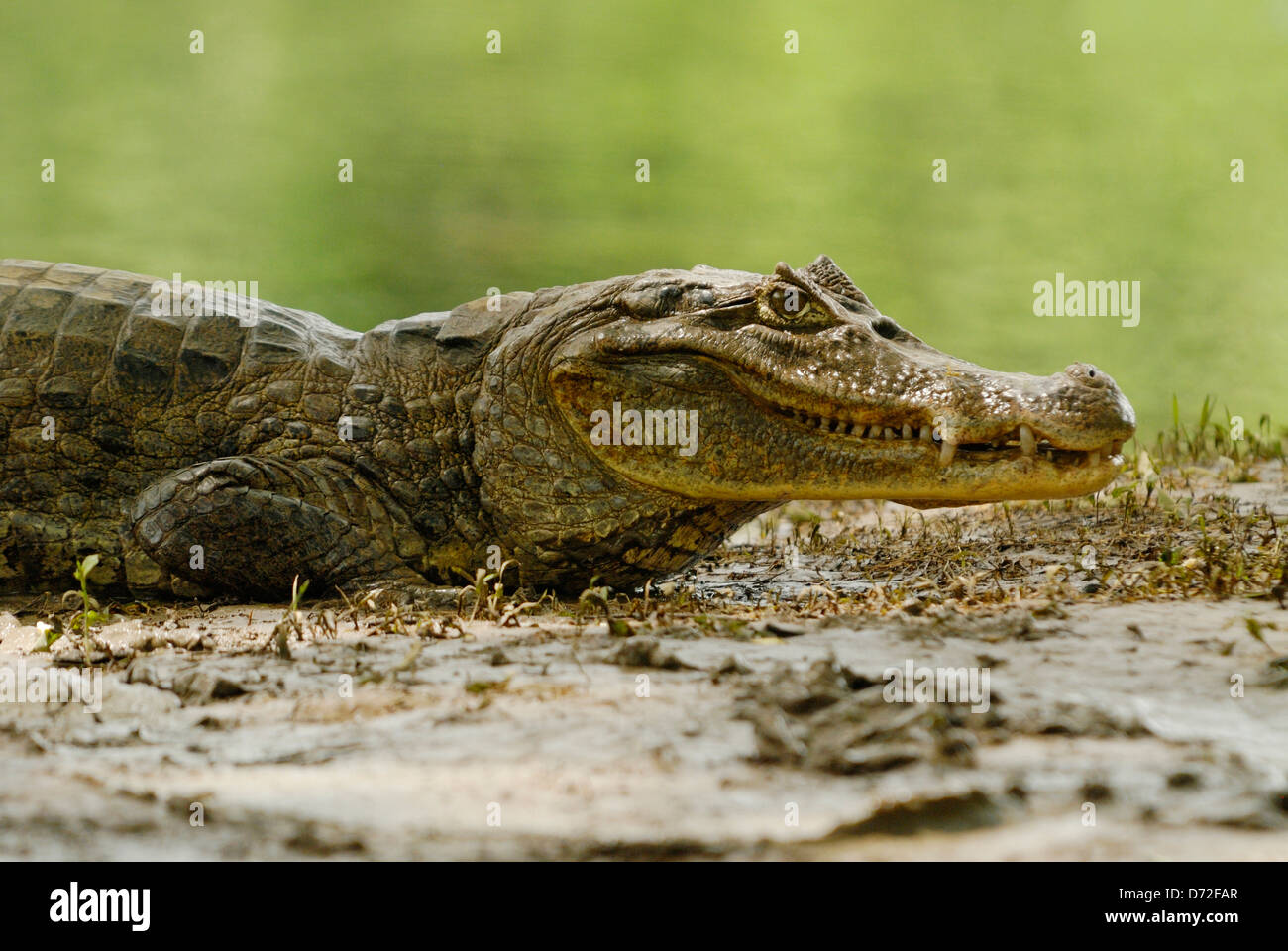 Spectacled Caiman (Caiman crocodilus) in Cano Negro Wildlife Refuge, Costa Rica - Stock Image