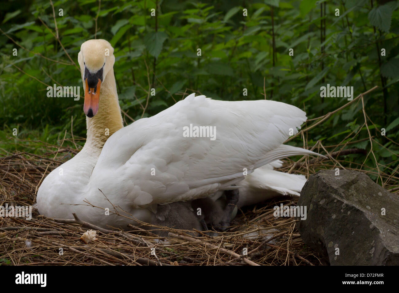 Mother swan with baby swans in her nest. Stock Photo
