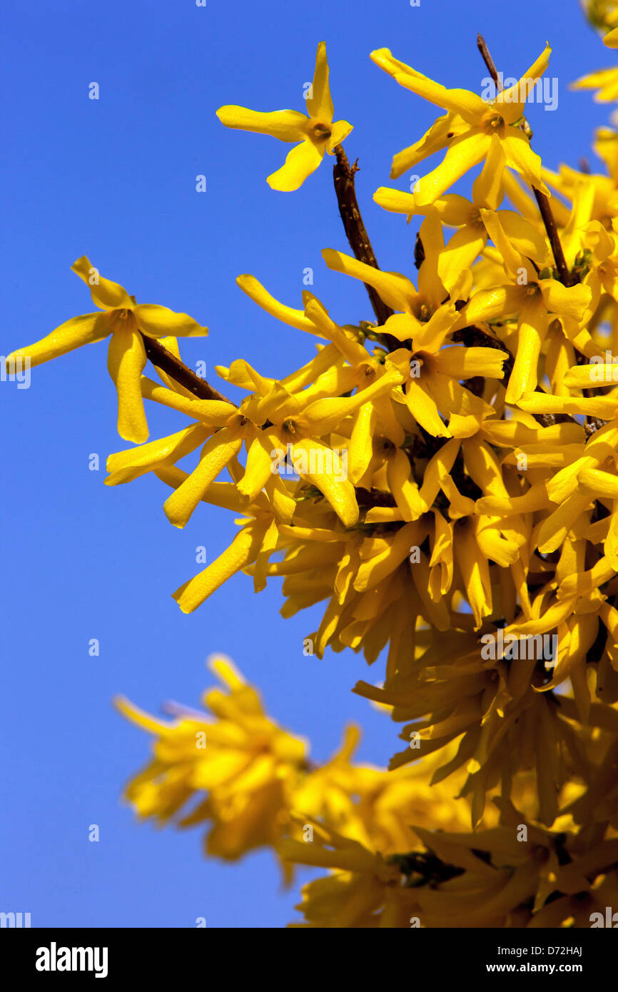 Forsythia x intermedia, garden shrub flowering in early Spring Stock Photo