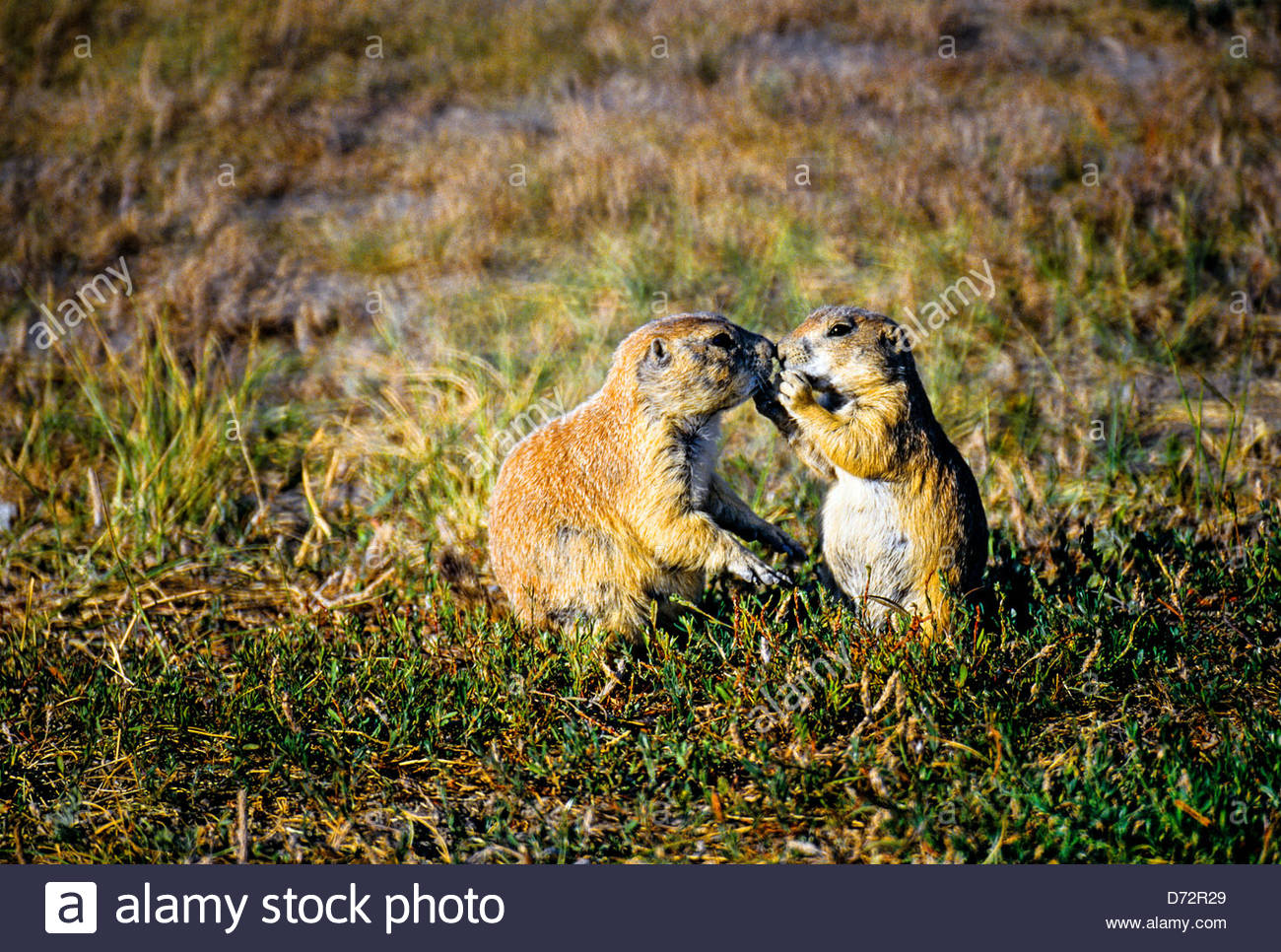 Prairie Dogs Roberts Prairie Dog Town Badlands National Park