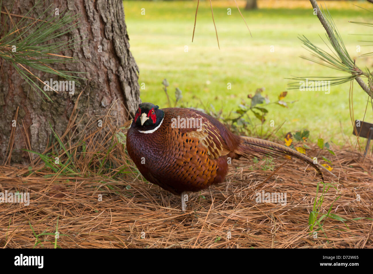 Male Pheasant by a tree - Stock Image