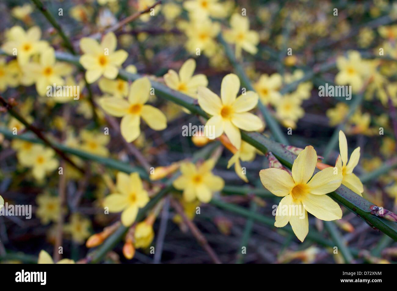Winter Jasmine Stock Photos Winter Jasmine Stock Images Alamy