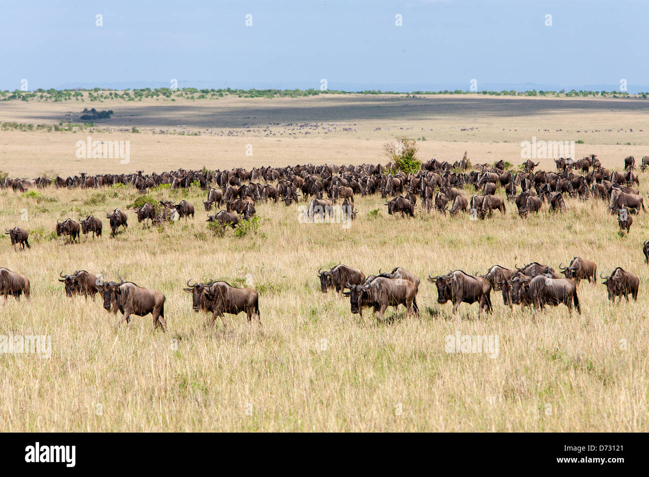 Blue Wildebeests during the Great Migration Stock Photo