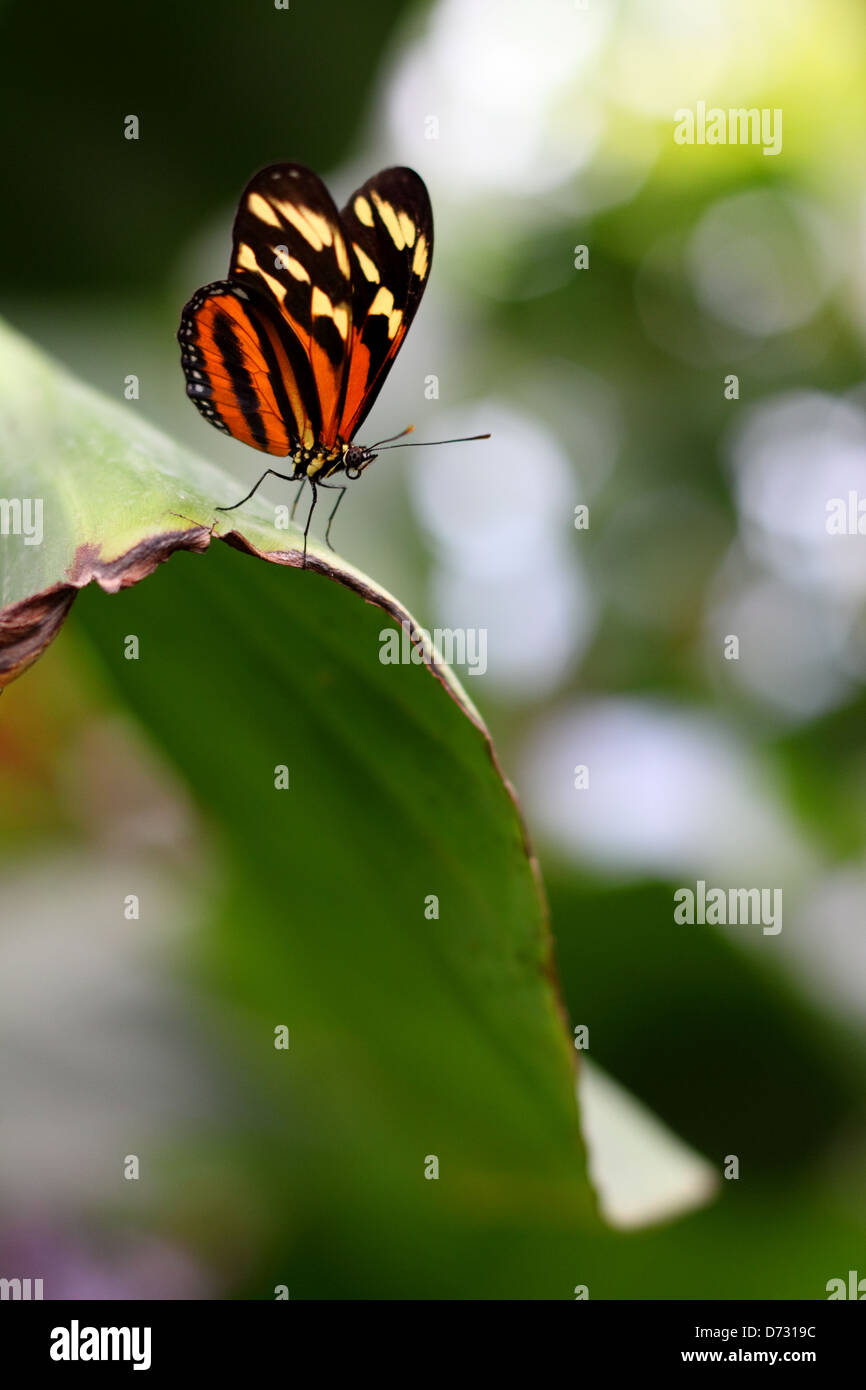 Delicate Tiger-Mimic Queen  Lycorea cleobaea  butterfly posed on green leaf - Stock Image