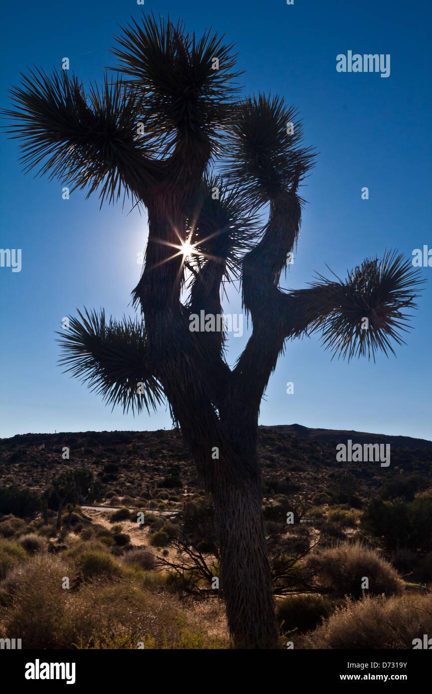 Silhouette of a Joshua Tree at sunset - Mojave Desert, California - Stock Image
