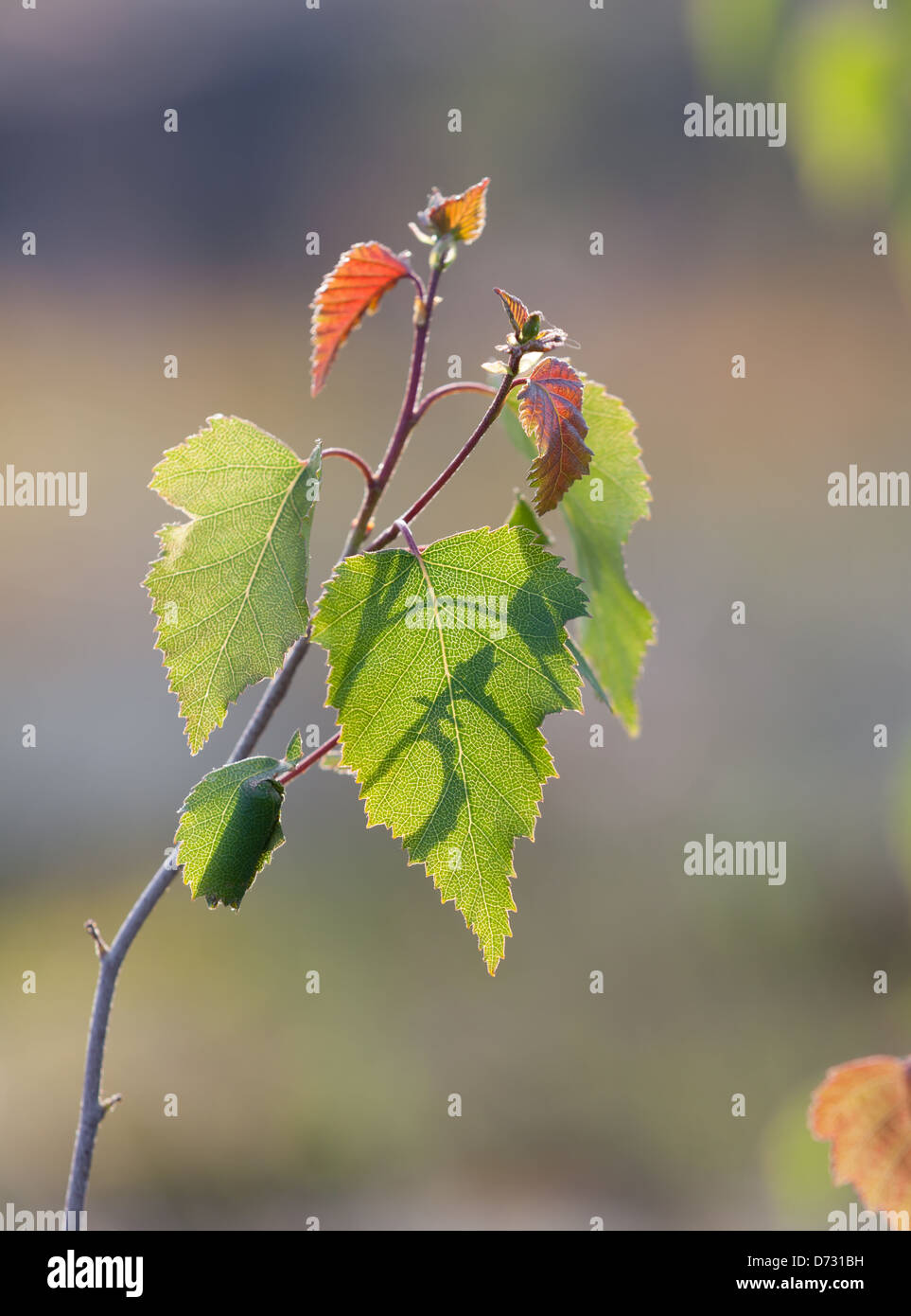 The spring birch leaves - Stock Image