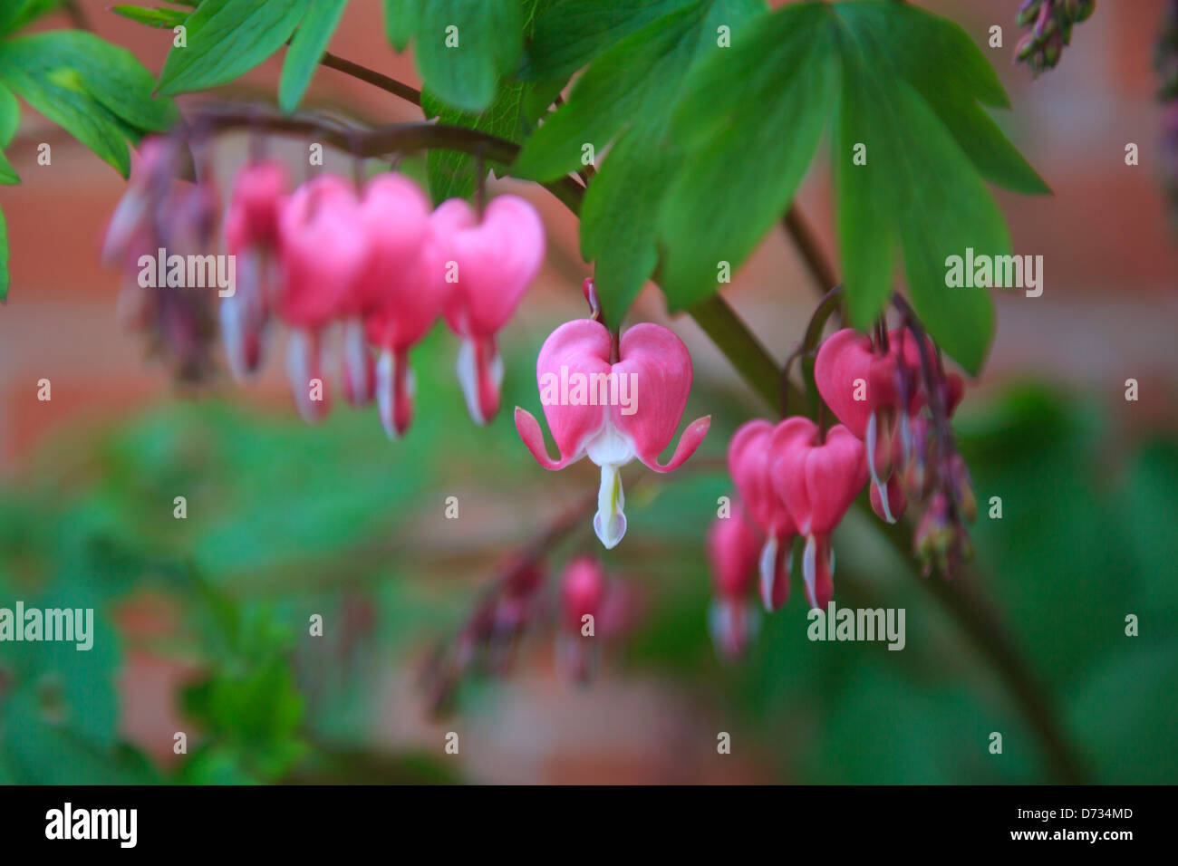 Bleeding Heart Red Heart Shaped Flowers With White Tips Stock Photo
