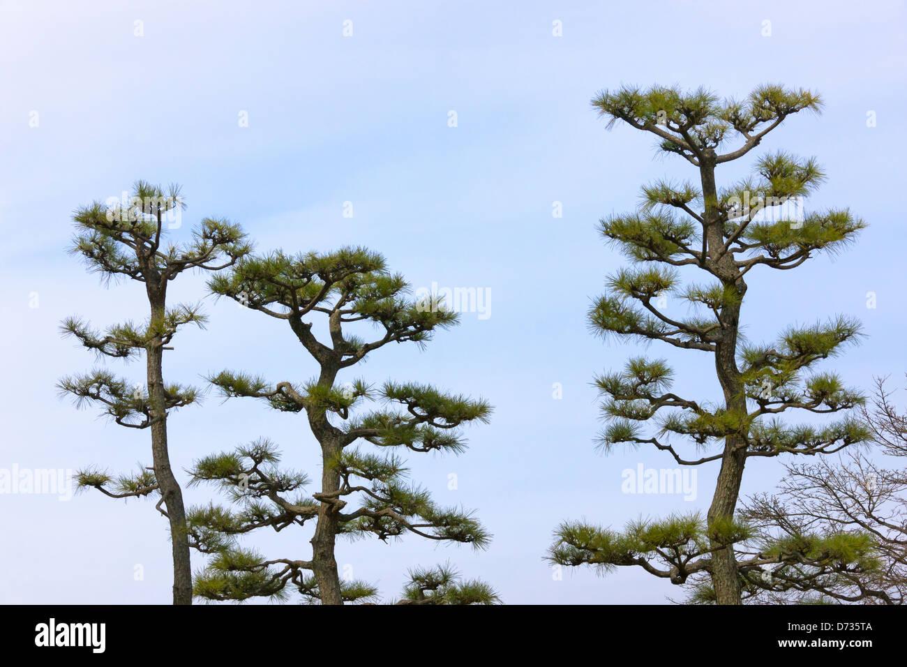 Well trimmed pine trees, Okayama, Japan - Stock Image