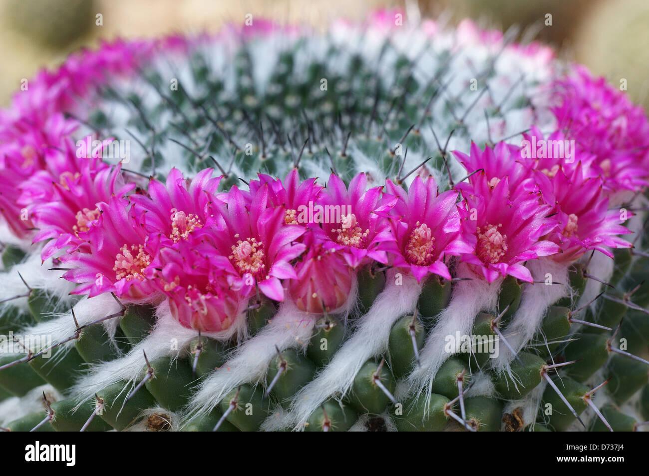 Cactus Mammillaria mammillaria sempervivi flowers close up - Stock Image