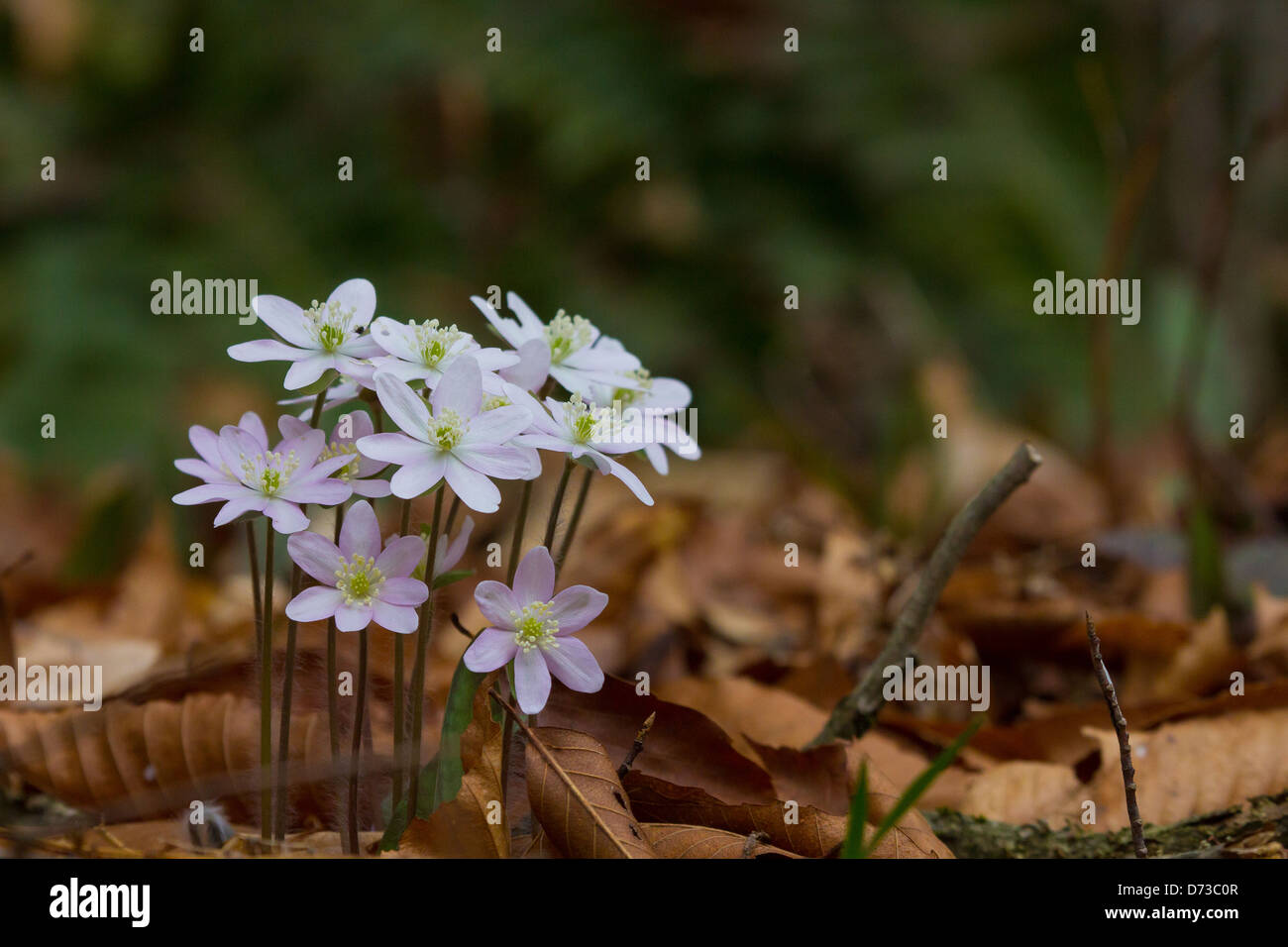 A Clump Of Hepatica Flowers In Bloom During The Spring Season Stock