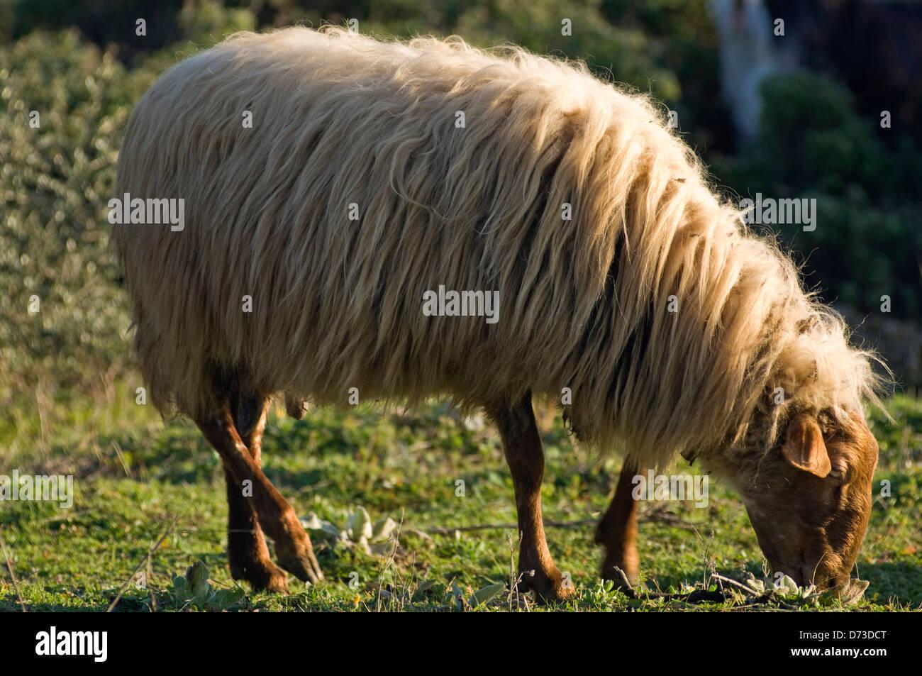 Grazing sheep (Greece) Stock Photo