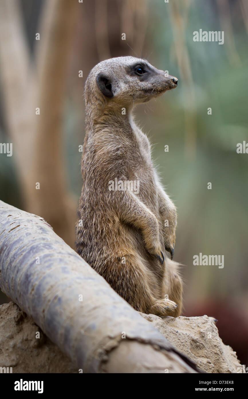 Meerkat, Tropical World in Leeds - Stock Image