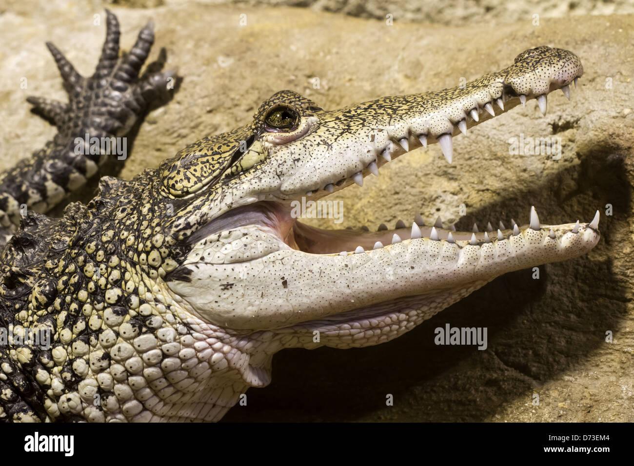 Morelet's crocodile - Tropical World, Leeds - Stock Image
