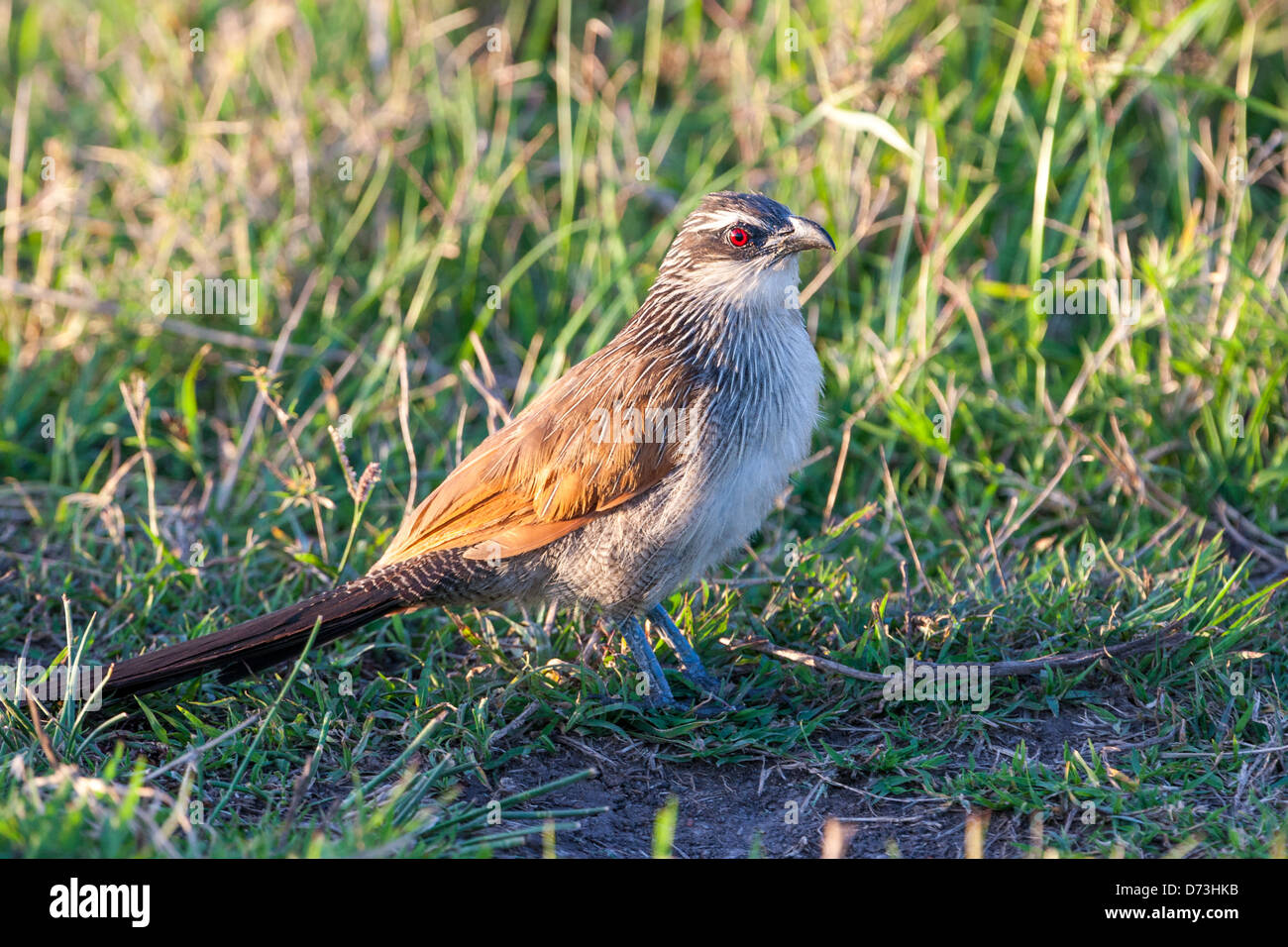 White Browed Coucal - Stock Image