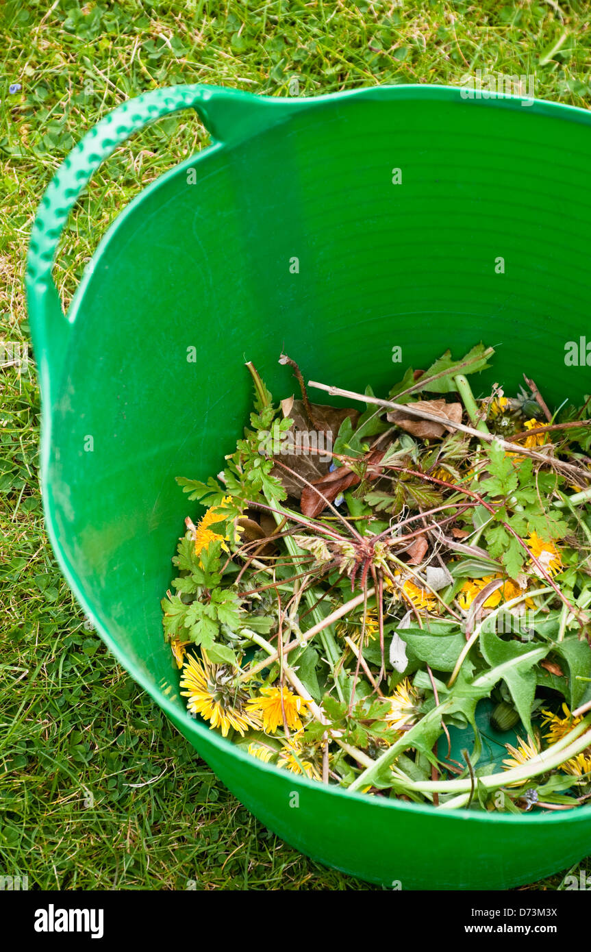 Dandeilon weeds, collected  from the garden in a green trug,  with flower heads before having gone to a seedhead. - Stock Image
