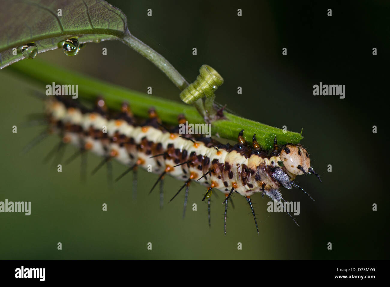 A Caterpillar of the Red Postman butterfly - Stock Image