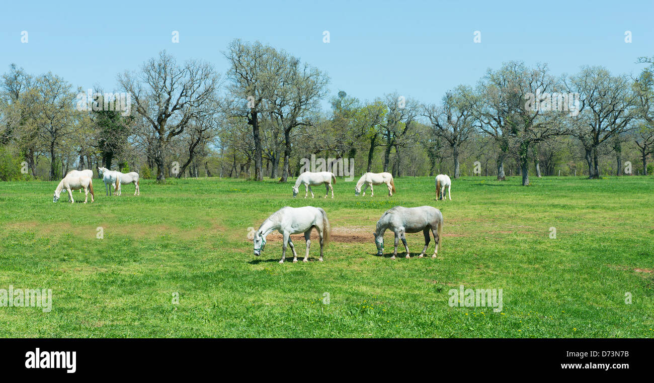 A finest horses for haute-école riding  in Lipica Stud Farm - Stock Image