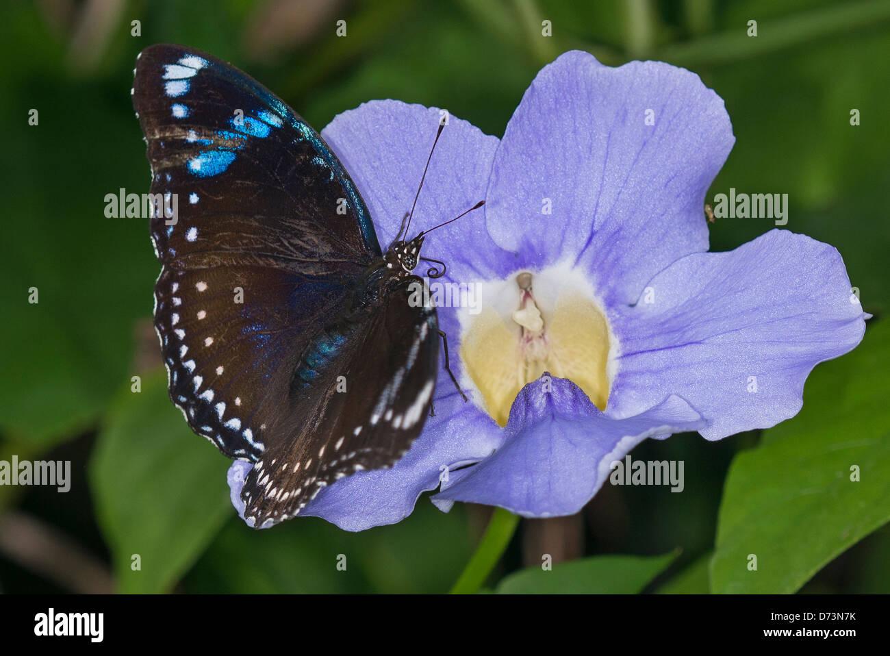 An adult Tanzanian Diadem butterfly - Stock Image