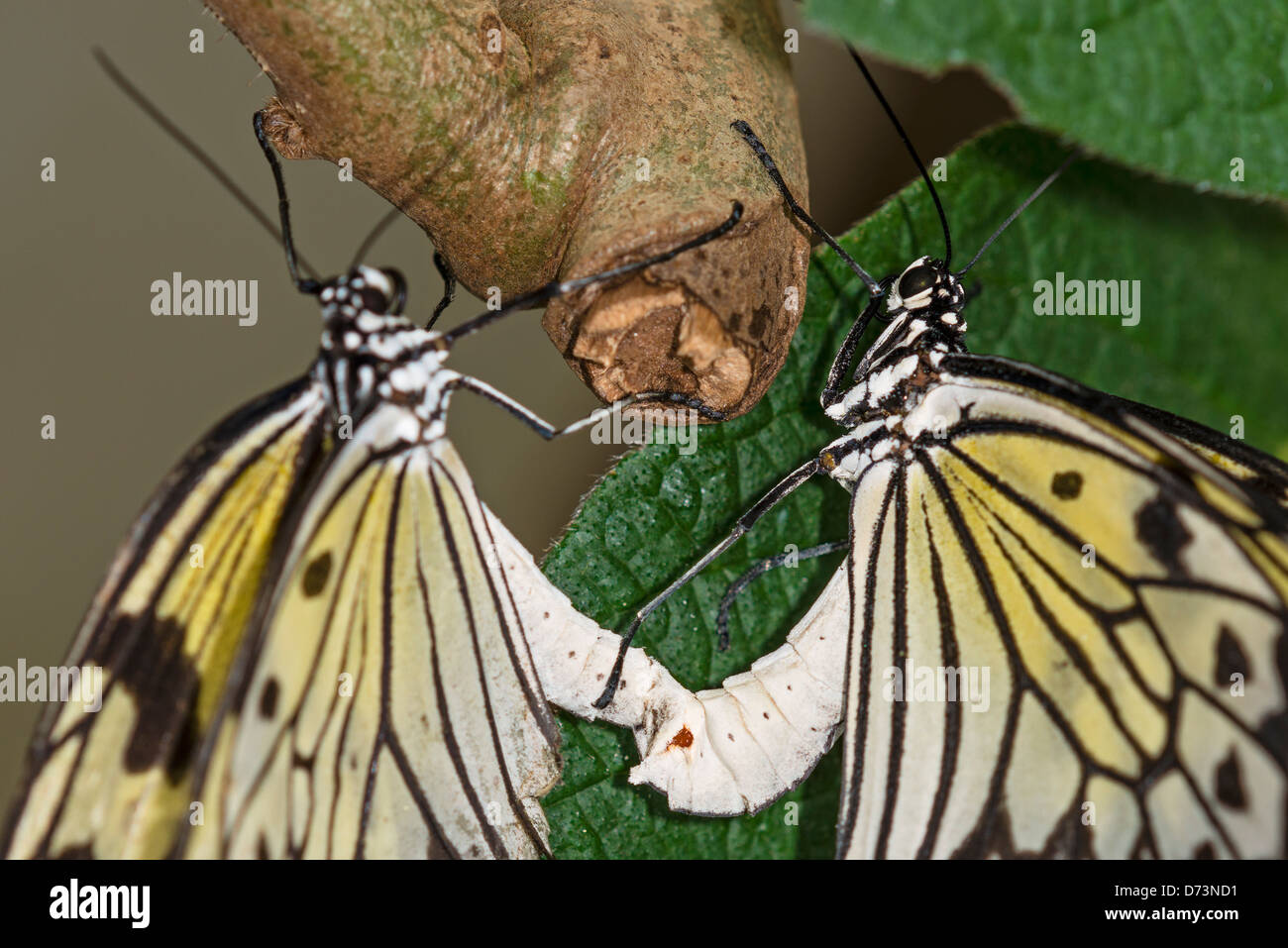Great Tree Nymph butterflies mating - Stock Image