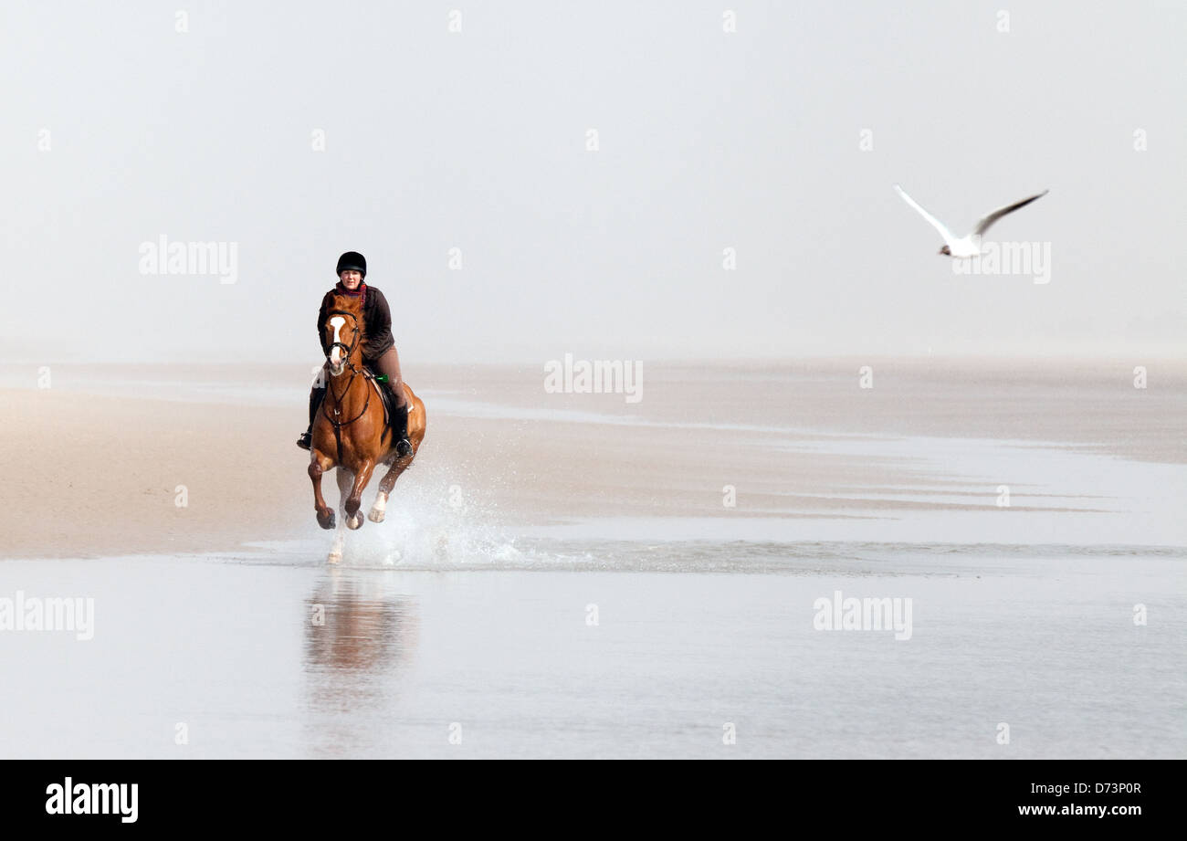 A girl riding her horse, galloping along Holkham Beach with a seagull, Norfolk, East Anglia, UK - Stock Image