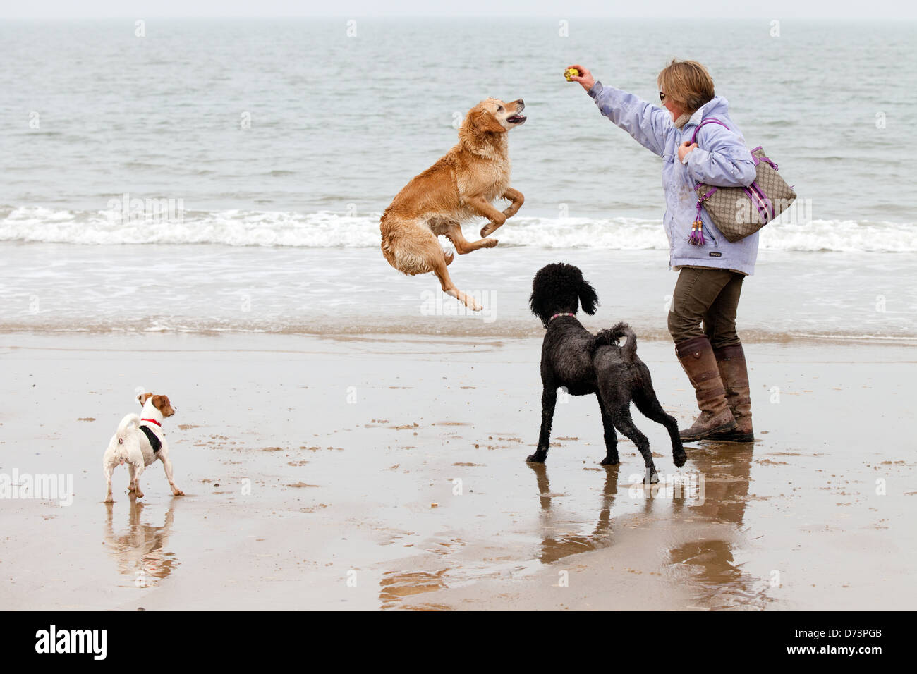 Dog jumping up and playing with its owner, while walking on Holkham Beach, Norfolk, UK - Stock Image