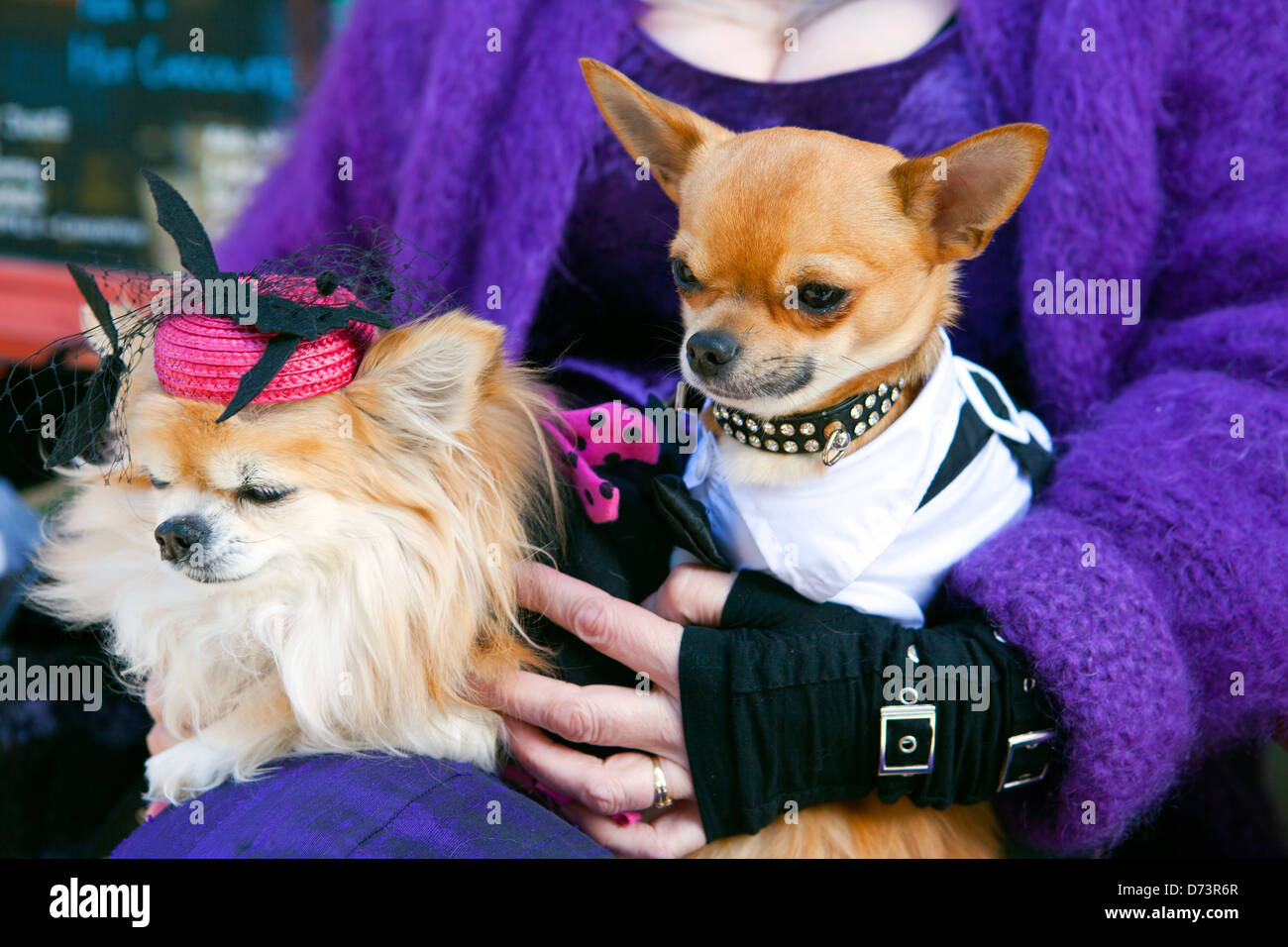 Two elegantly dressed chihuahua dogs in a ladies lap. - Stock Image