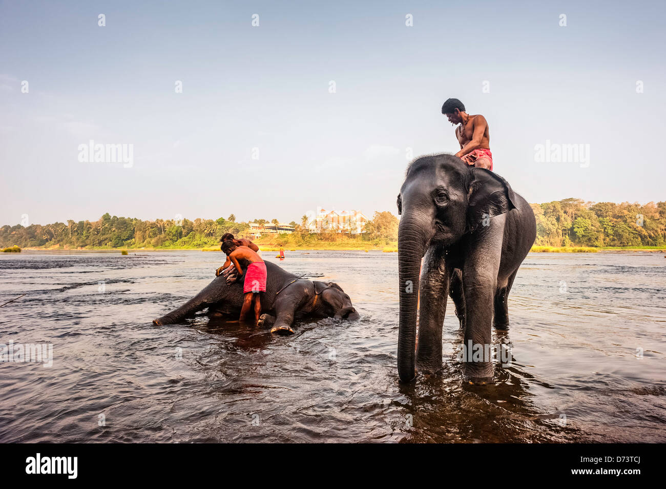 Mahouts bathe their young elephants in the river Periyar at dawn in Kerala, India. - Stock Image