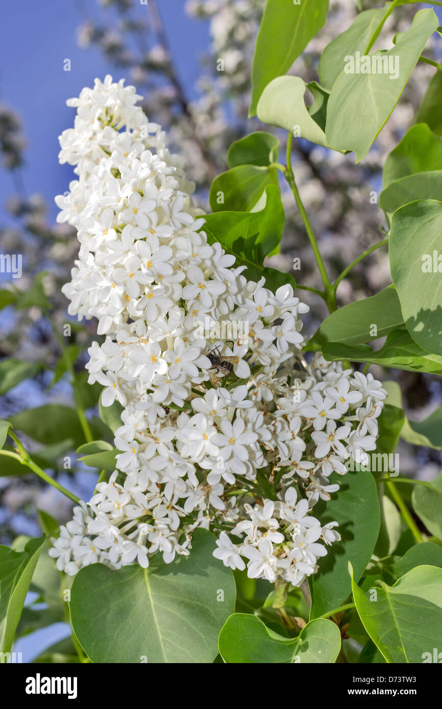 outdoor photo of white lilacs and bee - Stock Image