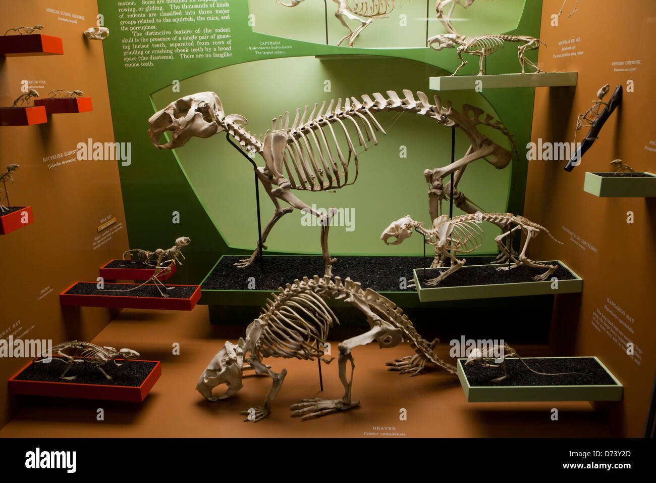 Small mammal skeleton exhibit in museum - Stock Image