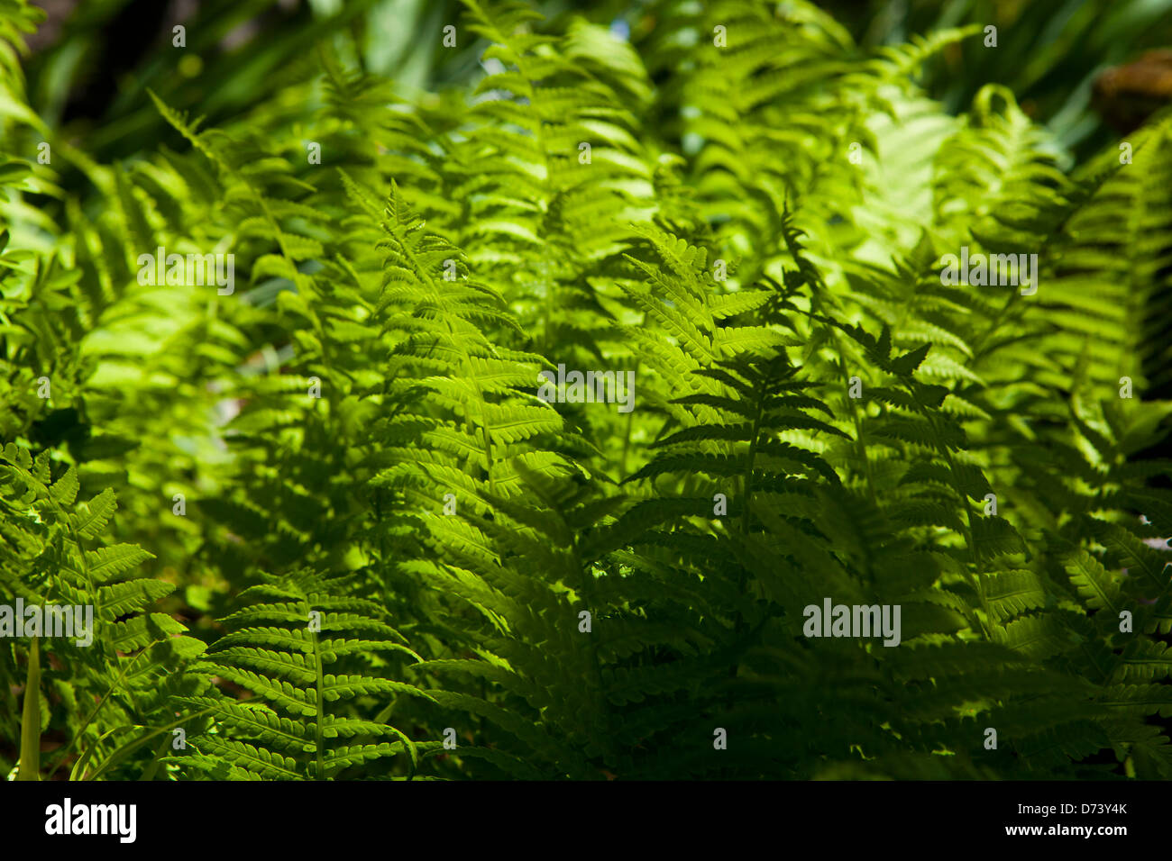 Common ferns - Stock Image