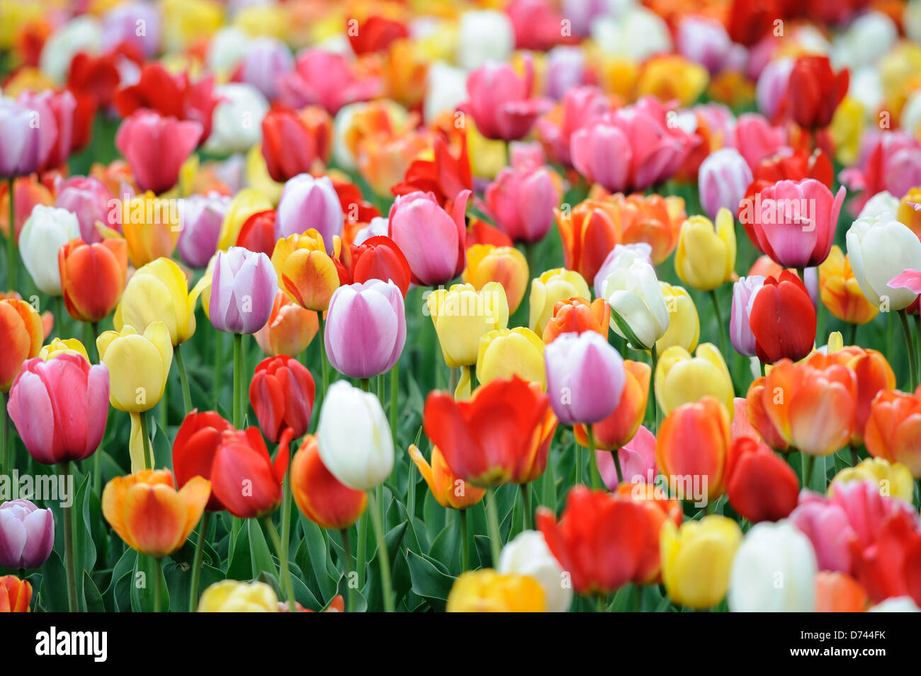 Field of Tulips - Stock Image