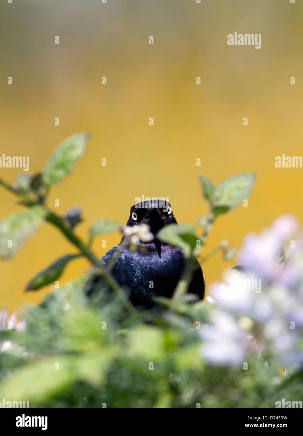 Brewer's Blackbird Peering Through Flowers - Stock Image