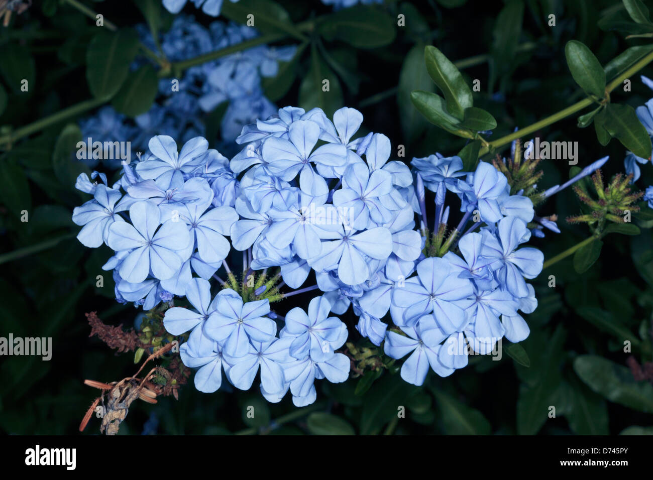 Plumbago capensis FREE P//P WHEN BUY 3 OR MORE ITEMS - 1 PLANT auriculata